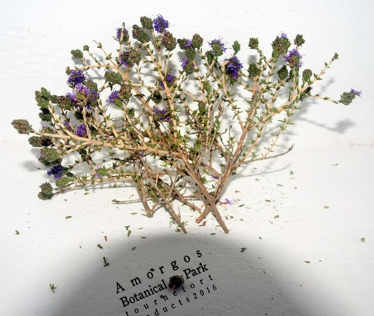 Dried  #Thyme from #Amorgos island, in our #herbslab. #greekproducts #herbs #organic #handpicked #natural #purple #botanicalamorgos