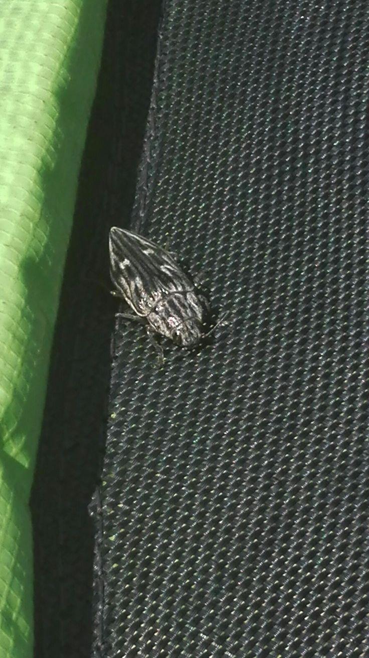 Krasec měďák (Chalcopora mariana) naše trampolina