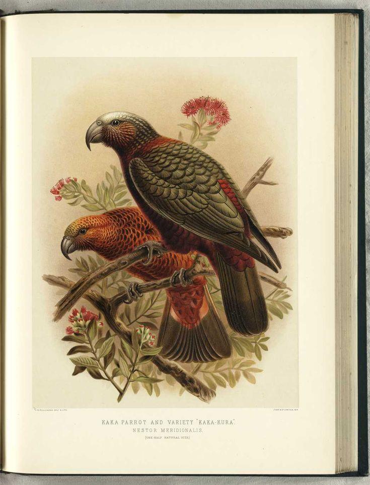 "NZ Kaka Parrot & variety of ""Kaka-Kura"" by JG Keulemans (from Walter Buller's 'A History of The Birds of New Zealand' - 1870's)"