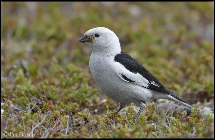 De sneeuwgors (Plectrophenax nivalis) is een zangvogel uit de familie van Calcariidae.ijn normale habitat is het palearctisch en het nearctisch gebied. Hij heeft een voorkeur voor de rotsachtige en schaars begroeide toendra's langs de Noordelijke IJszee, Noord-Amerika, Scandinavië en de bergen van Schotland.