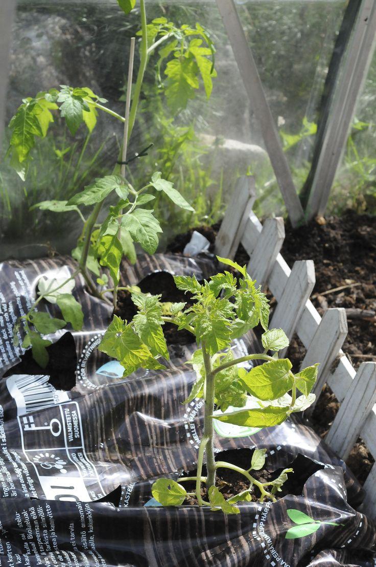 Tomaatit kasvihuoneessa/ greenhouse tomatoes