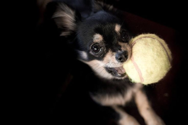 Ace Chihuahua