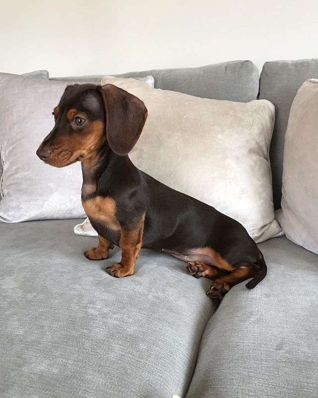 Polly The Mini Dachshund Pollytheminidachshund X Instagram