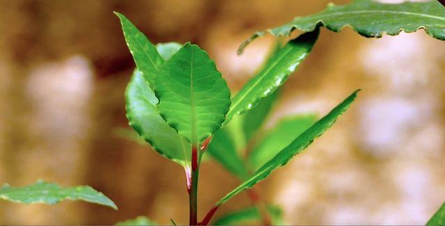Roślina ta wykazuje niesamowitą zdolność redukcji nadciśnienia, walki z bezsennością i kontrolą poziomu cholesterolu we krwi.