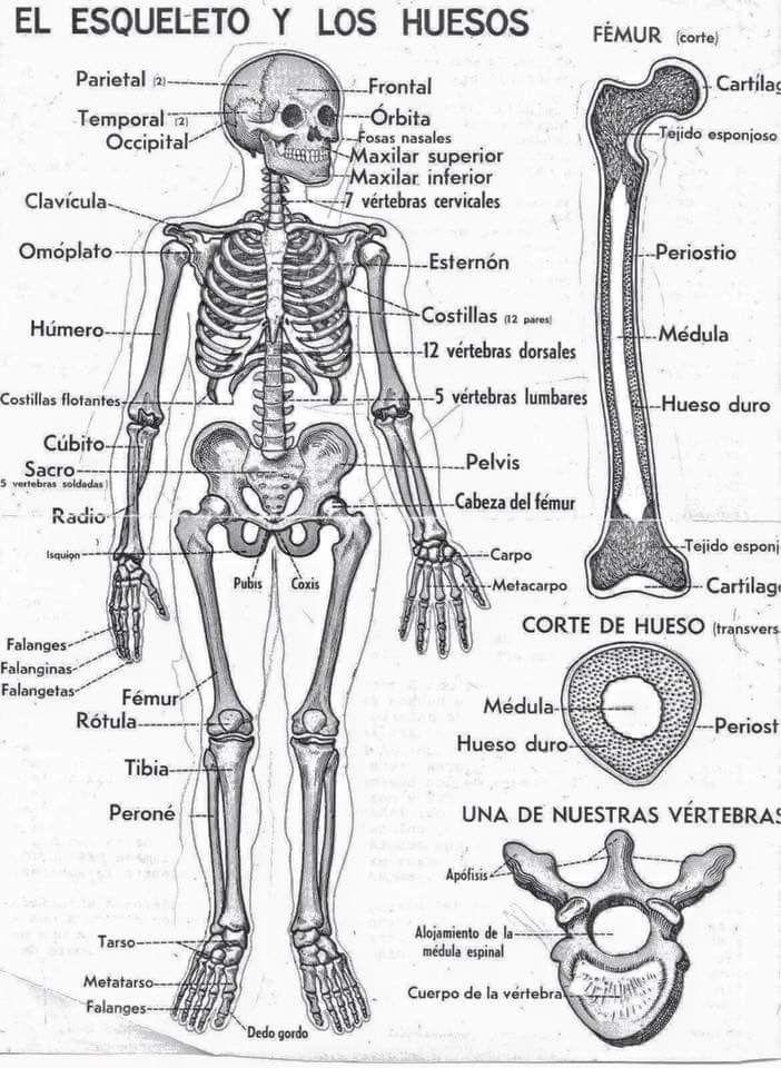 Pin de claudia freire en actividades escolares | Esqueleto humano ...
