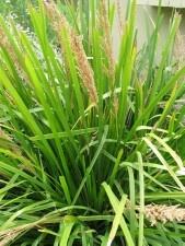 Spiny-headed Mat-rush Lomandra longifolia