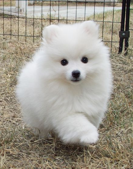 looks just like the first pet I remember having. her name was Angel. She was an American Spitz.