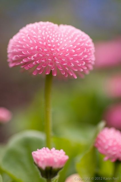 ~~Pomponette English Daisy by | http://beautifulflowerscollections.blogspot.com