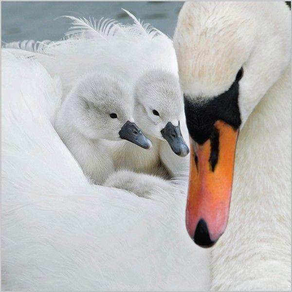 19 best Swans images on Pinterest   Animales bebé, Aves y Pájaros ...