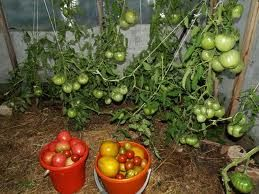Шпаргалка овощевода (2)