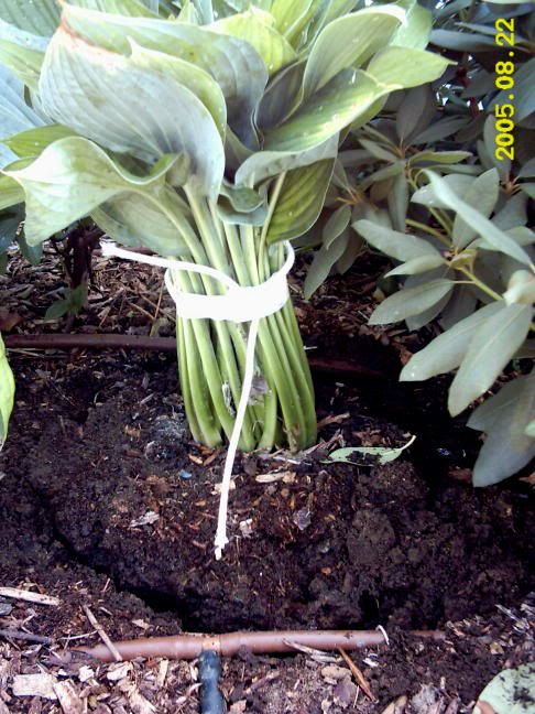 How to move hostas             ****: Gardening Ideas, Move Hostas, Garden Tips, Garden Flowers, Gardening Outdoor, Hosta Plant, Garden Plants