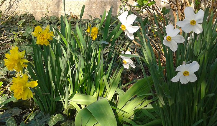 Nárciszok #nárcisz #virág #tavasz #sárga #kecses #illatos