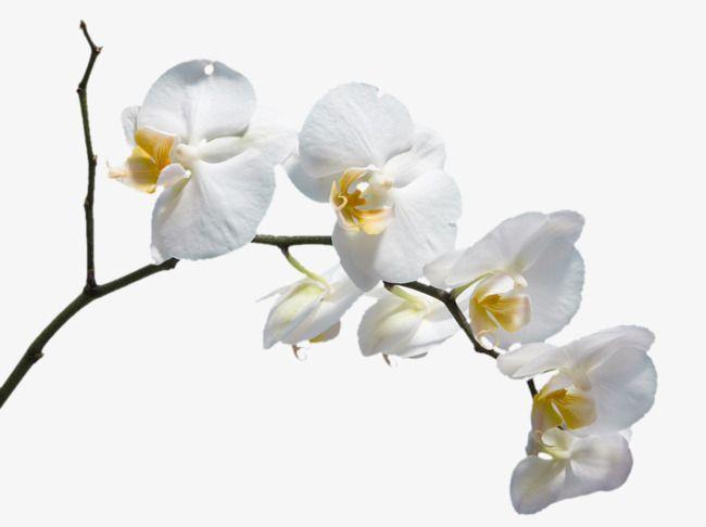 زهرة بيضاء زهرة زهرة الأوركيد الجميلة ورود بيضاء Png وملف Psd للتحميل مجانا White Flower Png White Flowers Flower Png Images