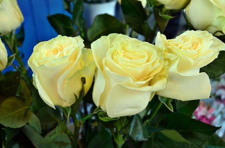 Sárga rózsák!