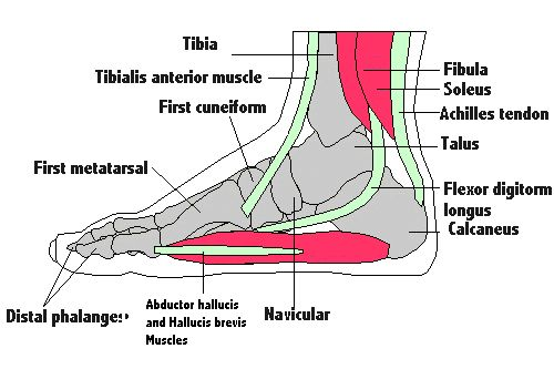 Tendons of the knee | Healthy Information | Pinterest | Muscles