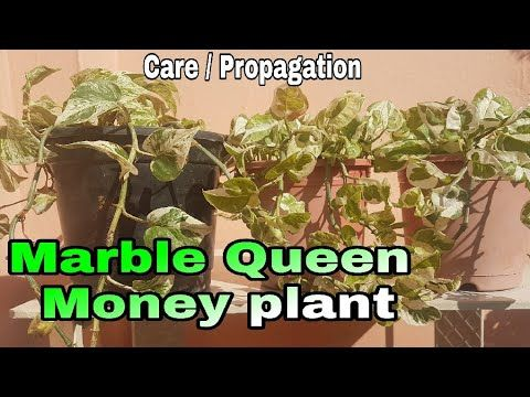 How to care Marble Queen Money plant, How to propagate marble queen money plant … – gardening