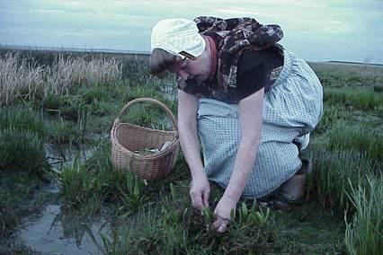 Zeeuwse plukt verse lamsoren #Zeeland #ZuidBeveland #protestant