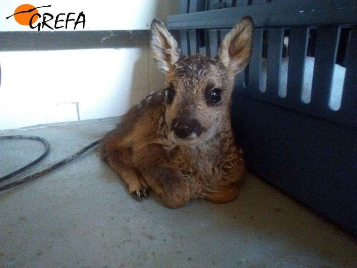 Corzo 16/1307  Encontrada en Becerril de la Sierra, esta cría de corzo fue entregada a GREFA por la Guardia Civil de dicha localidad a finales del mes de mayo. http://buscopadrino.grefa.org/producto/corzo-161307/