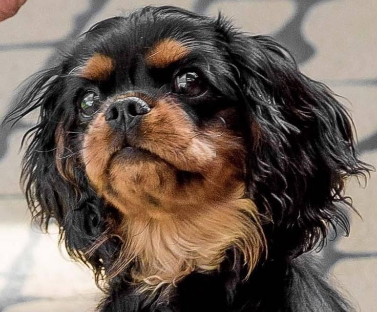 324 Best Images About Cavalier King Charles Spaniel On