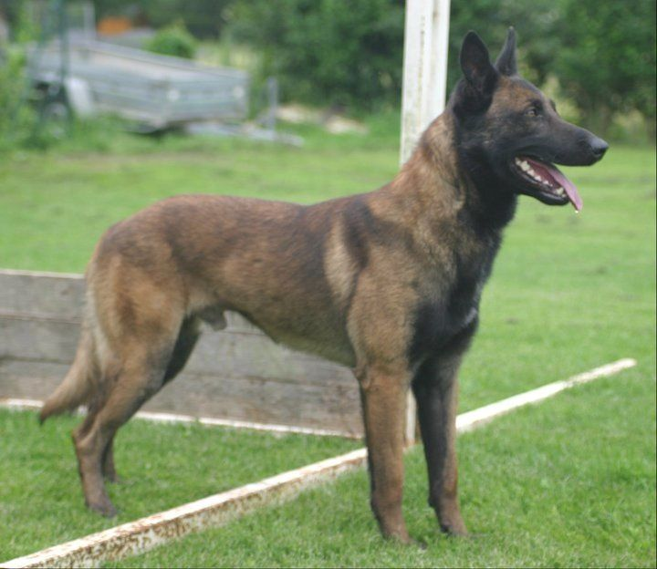 Personal protection dogs for sale. Personal protection dog training. www.deltak9.com