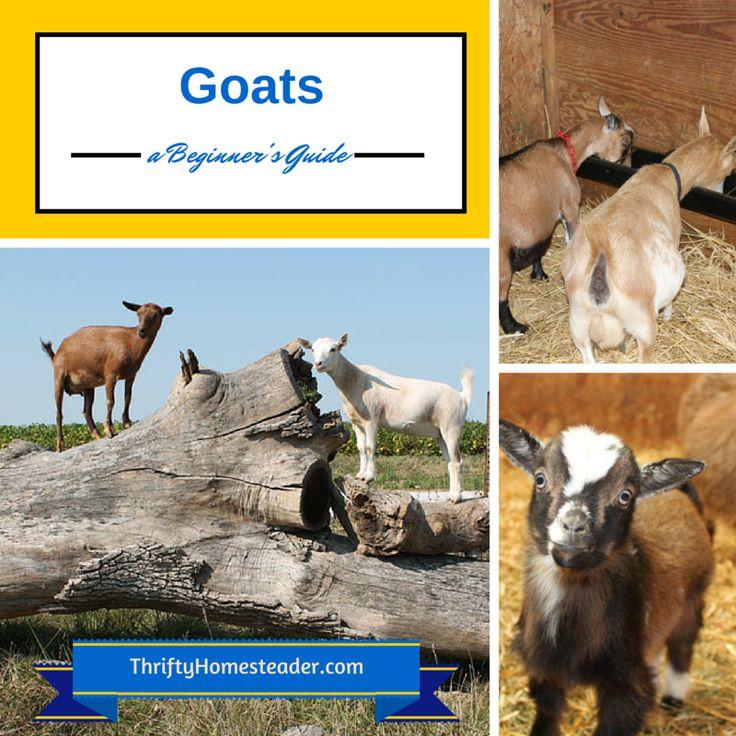 436 best images about Goats! on Pinterest Raising Goats