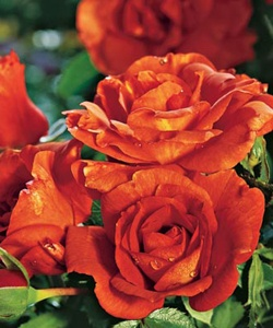 Laura Bush floribunda rose ~ sunset-colored petals with ...