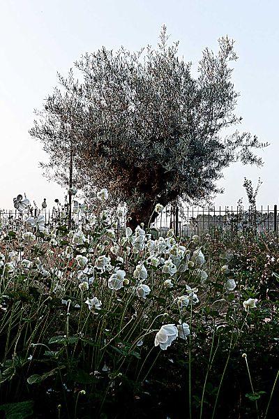 Ulivo - Giardino privato a ridotta manutenzione presso recupero Opificio storico   Torino. http://www.coopagridea.org/garden-think/garden-think/
