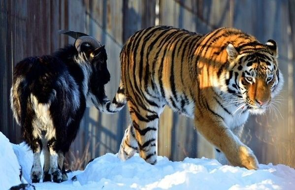 Surprising Goat And Tiger Friendship Finally Comes To An End
