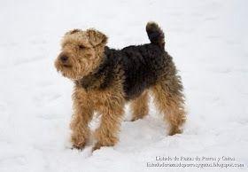 Terrier Galés o Welsh terrier, perro de compañía y frecuente en exposiciones caninas. (Terrier gal•lès, Welsh-terrier, Walesinterrieri, Terrier Gallois, Welsh terriër, Terier walijski, Velšteriér, Вельш-терьер, Welshterrier)