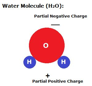 In a water molecule the oxygen atom is partially negative and the hydrogen atoms…