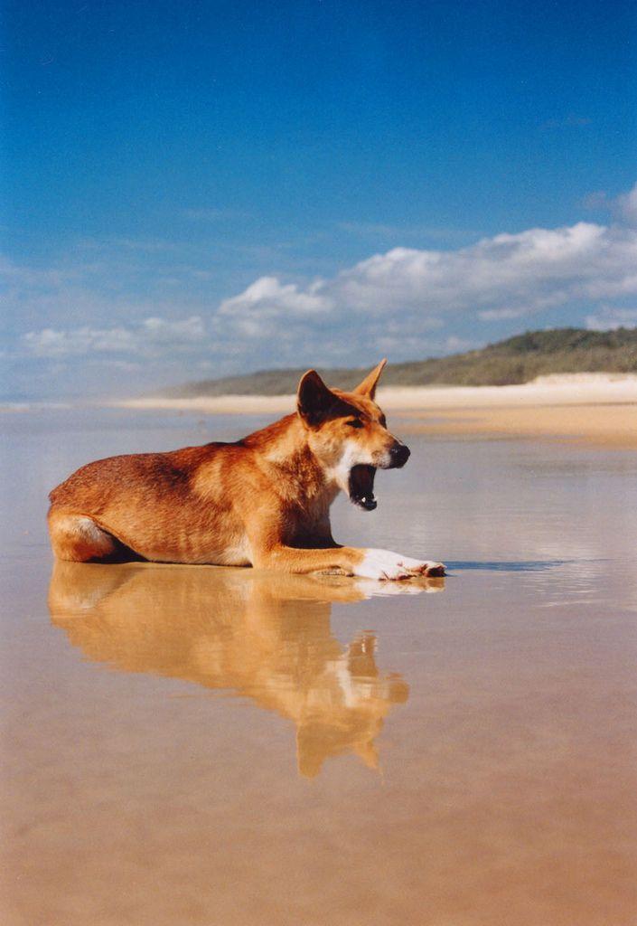 Dingo yawning on Fraser Island, Queensland, Australia.  #fraserisland #queensland #australia www.fraserisland.net
