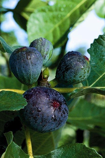 Black Jack Fig Monrovia Black Jack Fig Landscaping