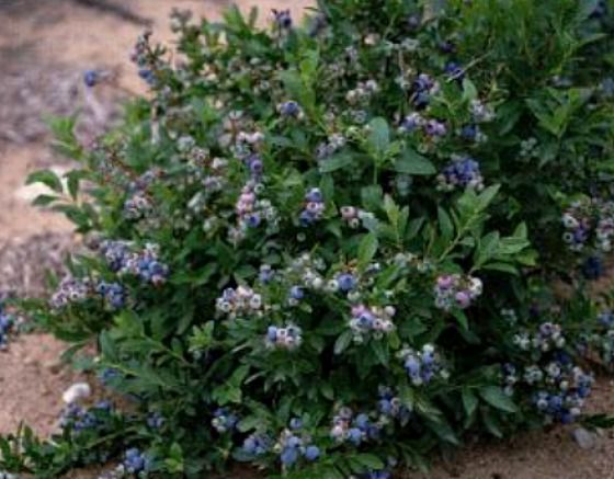 A Low Bush Blueberry Plant. This Article Has The Tips For Making Your Soil  More