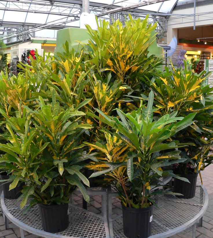sheridan nurseries greenhouses have a terrific selection of lush tropical house plants and colourful flowering plants for every season and occasion - Tropical House Plants