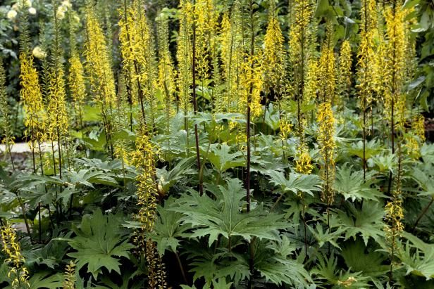 HGTV teaches us how to grow leopard plant and in which USDA zones it is hardy.