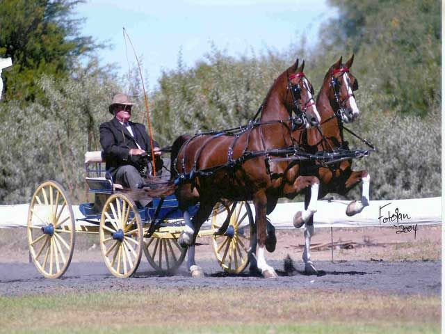 Hackney | Hackney horse breed information