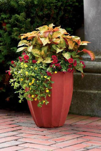 Great filler, thriller, spiller example from Proven Winners. The thriller is Coleus Amora, the filler is Calibrachoa Superbells Red and the spiller is Mecardonia Hybrid GoldDust.