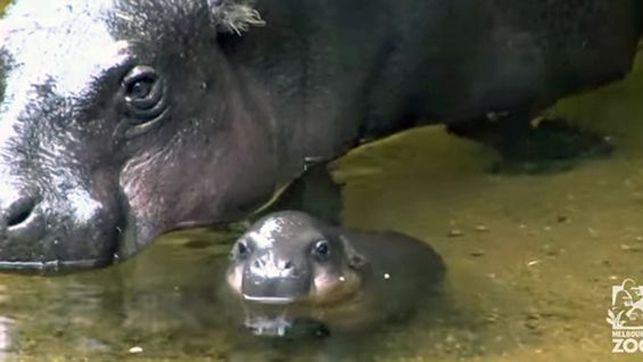 Watch This Baby Hippo Take Its First Swim http://www.womensforum.com/baby-hippo-takes-its-first-swim.html #womensforum
