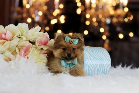 ♥ ☆ ♕Boo A Like Teacup Pomeranian Prince ZU VERKAUFEN! ♥ ☆ ♕ 954-35 anrufen …   – Cute Photos Of T-Cup Puppies For Sale