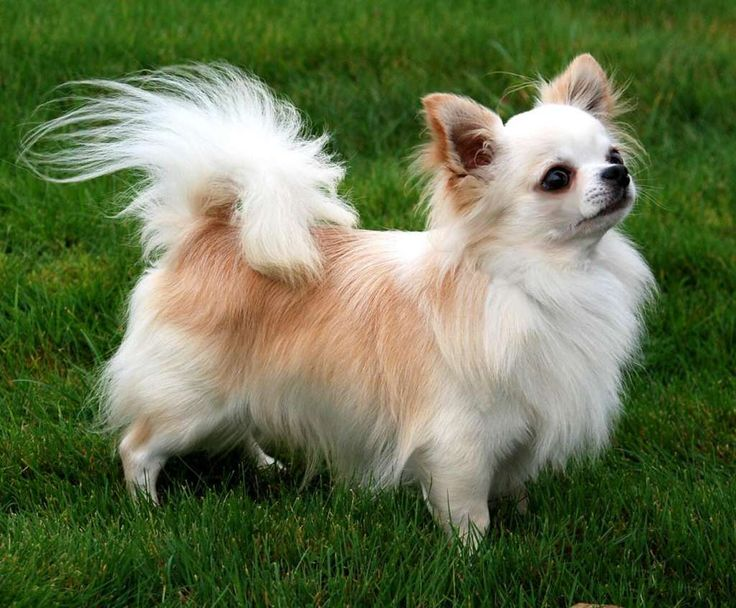 Cutest Long-Haired Chihuahua Pictures | Cute Pictures of Long-Haired Chihuahuas