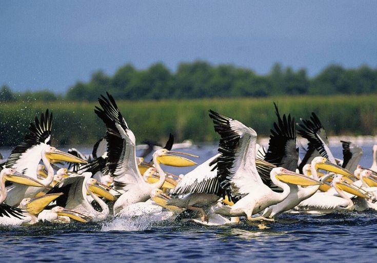 Reasons to Visit Romania in 2015 - Pelicans in the Danube Delta