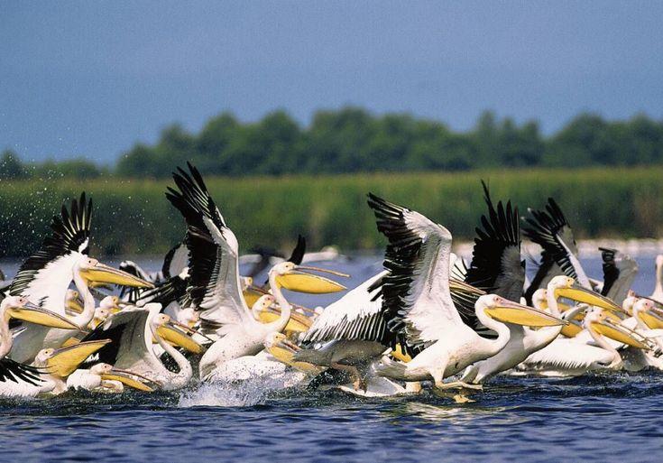 Reasons to Visit Romania in 2015 - Pelicans in the Danube Delta