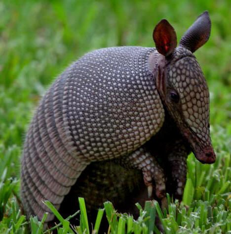 """Nine banded armadillos are common in Yucatan's wilderness and the Maya people call them """"Uech"""""""