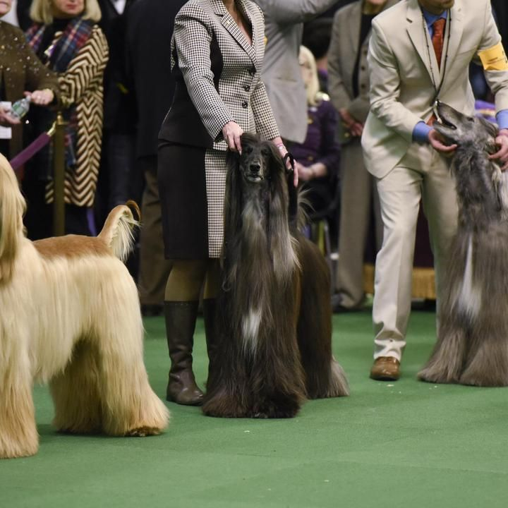 westminster dog show winners | Westminster Dog Show 2016 Results: Best of Breed Winners and Monday ...