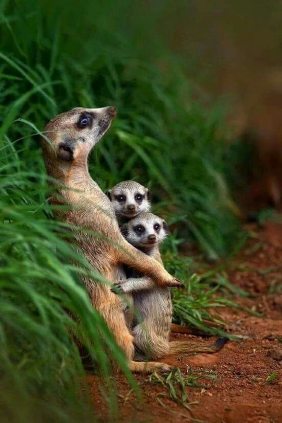 Best Meerkat Mobs Images On Pinterest Wild Animals Adorable - 30 cutest pictures ever babies posing animals