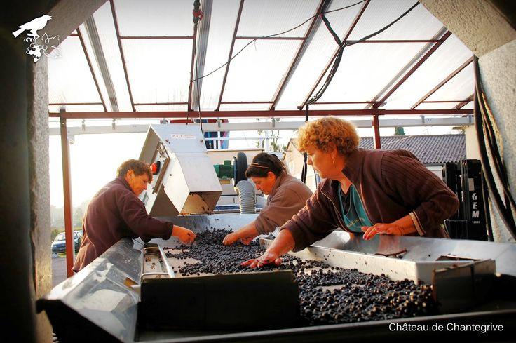 Le tri des Cabernets signe la fin des vendanges !  sorting Cabernet Sauvignon - Chantegrive - Graves - Wine - RED WiNE