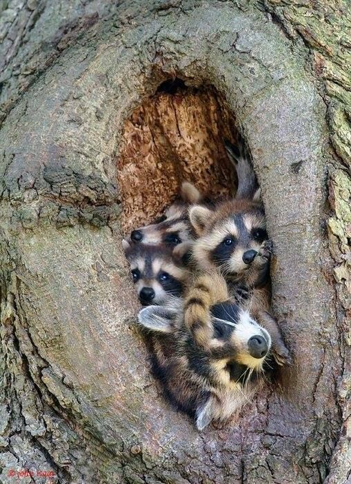 ...i think these poor little wild critters get such a bad rap, they're wild because they are, and their personalities are what they are... leave the raccoons be..