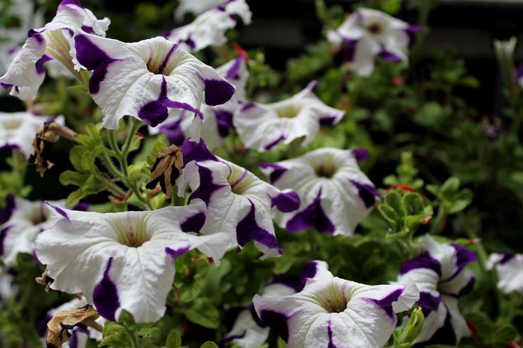 Nieve Púrpura #corazon #azahar #ceremonia #concursos #cruces #crucesdemayo #flores #patios #patiosdecórdoba #tradición #mayo #mayocordobés #cordoba #andalucia #rojo #rosado #terciopelo #negro #amarillo #abanico #nieve #púrpura