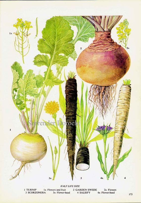 Root vegetables illustration