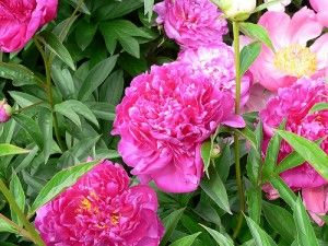 Perennial gardens are in general fairly easy to plant for Less maintenance plants